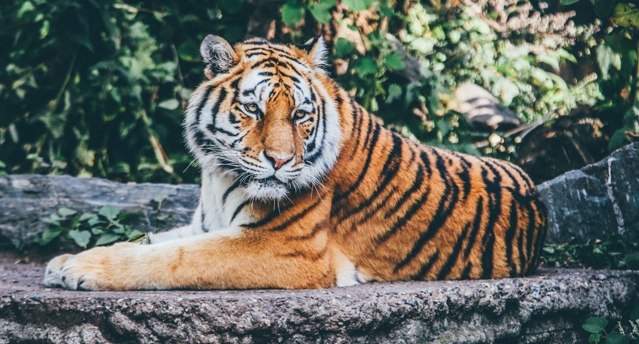 Bengal tiger laying down